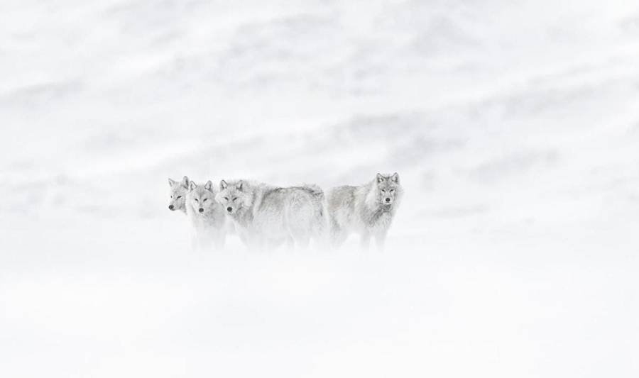 Beautiful Wildlife Photographs by Vincent Munier 02 Beautiful Wildlife Photography by Vincent Munier