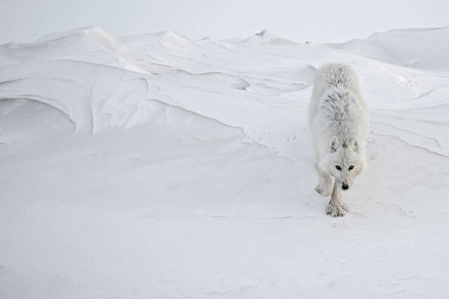 Beauty Wildlife Photographs by Vincent Munier 7 Beautiful Wildlife Photography by Vincent Munier