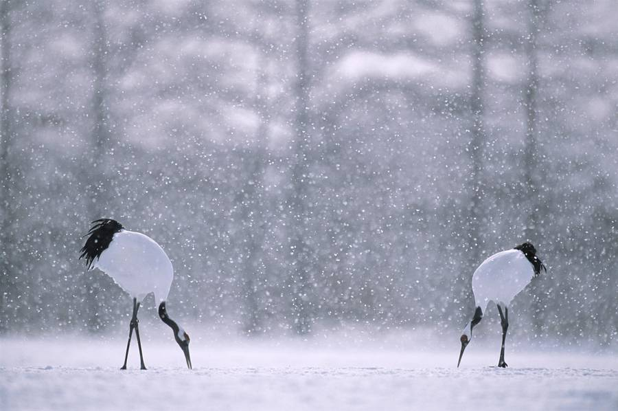 Fascinating Wildlife Photography by Vincent Munier 01 Beautiful Wildlife Photography by Vincent Munier