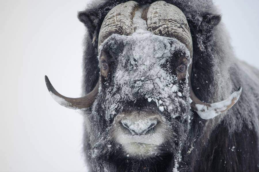 Fascinating Wildlife Photography by Vincent Munier Beautiful Wildlife Photography by Vincent Munier