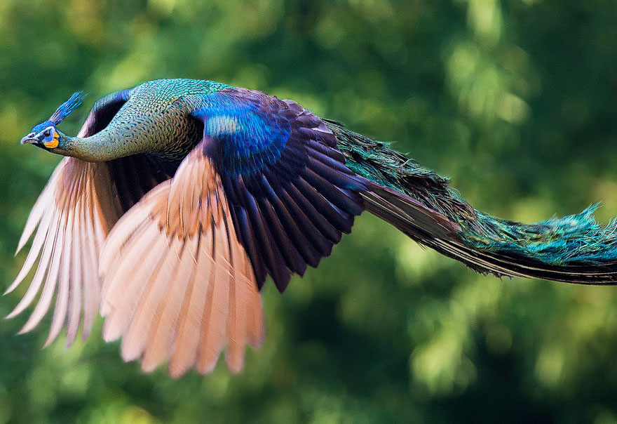 Most Beautiful Flying Peacocks Photos 01 Most Beautiful Flying Peacocks Photos