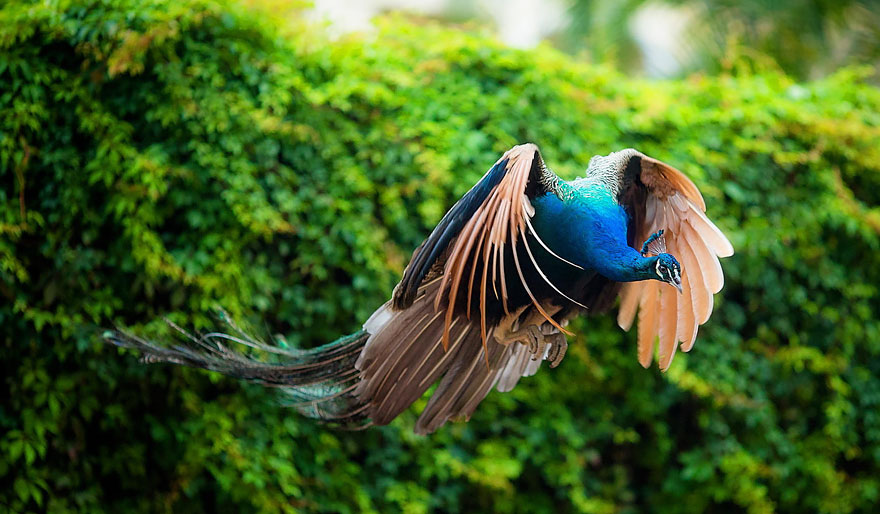 Most Beautiful Flying Peacocks Photos