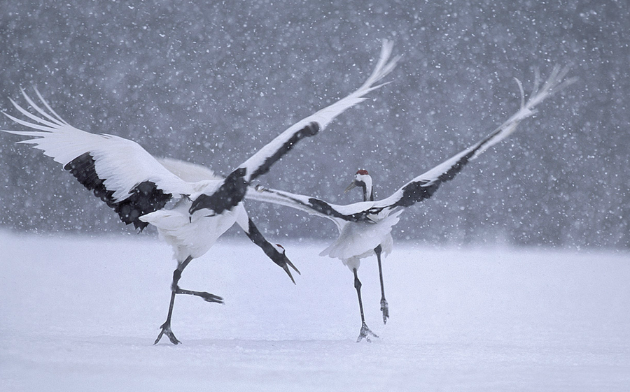 Wonderful Wildlife Photography by Vincent Munier Beautiful Wildlife Photography by Vincent Munier