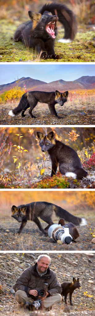 15 Beauty Photo Of Rare Black Foxes 11 307x1024 15 Beauty Photo Of Rare Black Foxes
