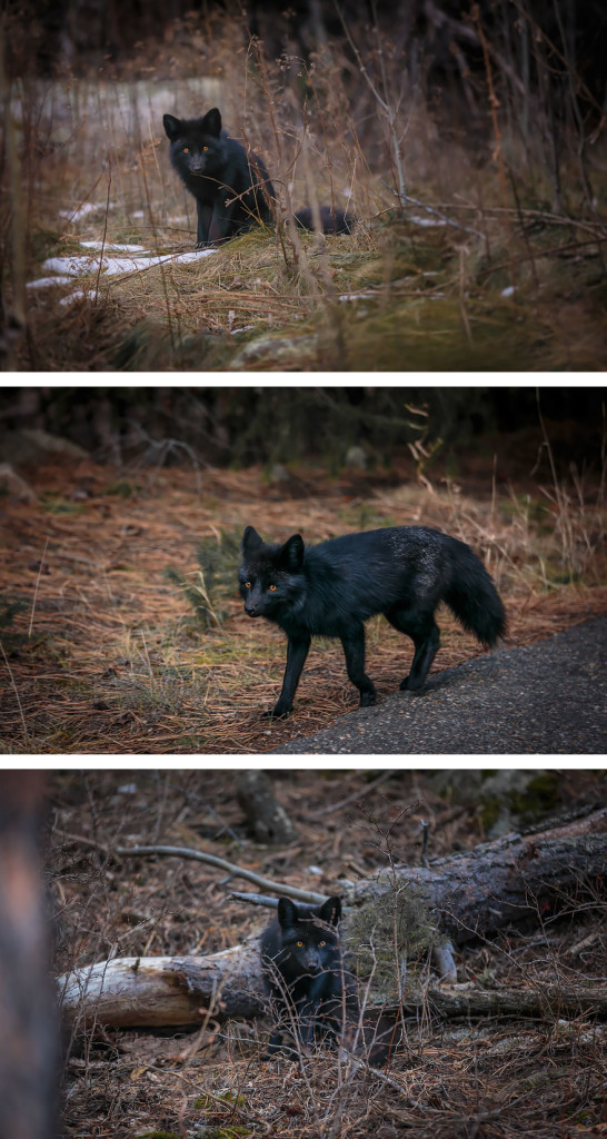 15 Beauty Photo Of Rare Black Foxes 77 546x1024 15 Beauty Photo Of Rare Black Foxes