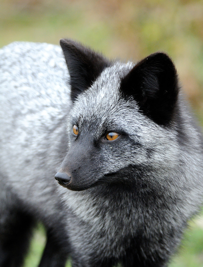 15 Beauty Photo Of Rare Black Foxes 99 778x1024 15 Beauty Photo Of Rare Black Foxes