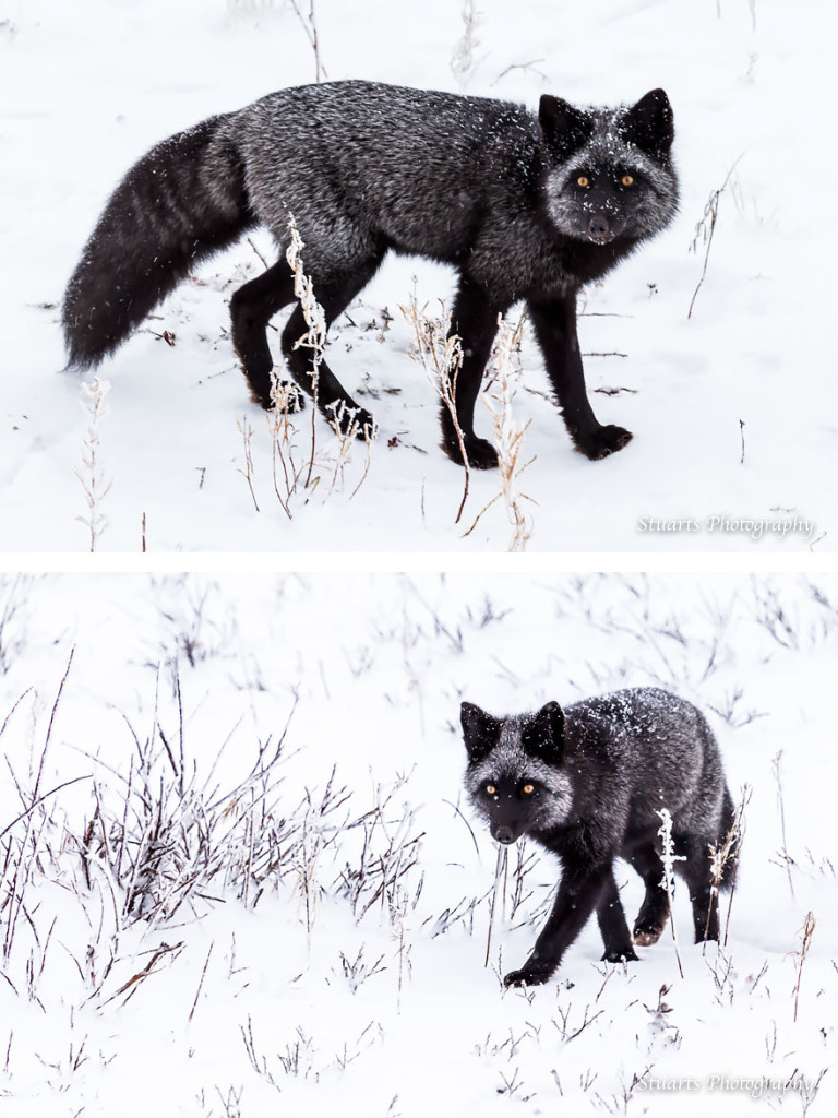 15 Beauty Photo Of Rare Black Silver Foxes 99 768x1024 15 Beauty Photo Of Rare Black Foxes