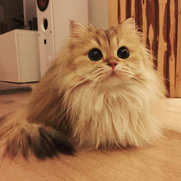 Adorable Fluffy Cat British Longhair 7 The World's Most Photogenic Cat
