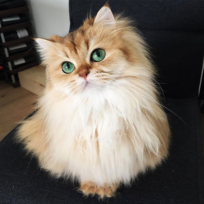 Beautiful Fluffy Cat British Longhair 99 The World's Most Photogenic Cat