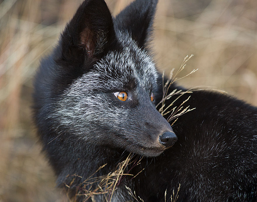 Beautiful Photo Of Rare Black Foxes 77 1 15 Beauty Photo Of Rare Black Foxes