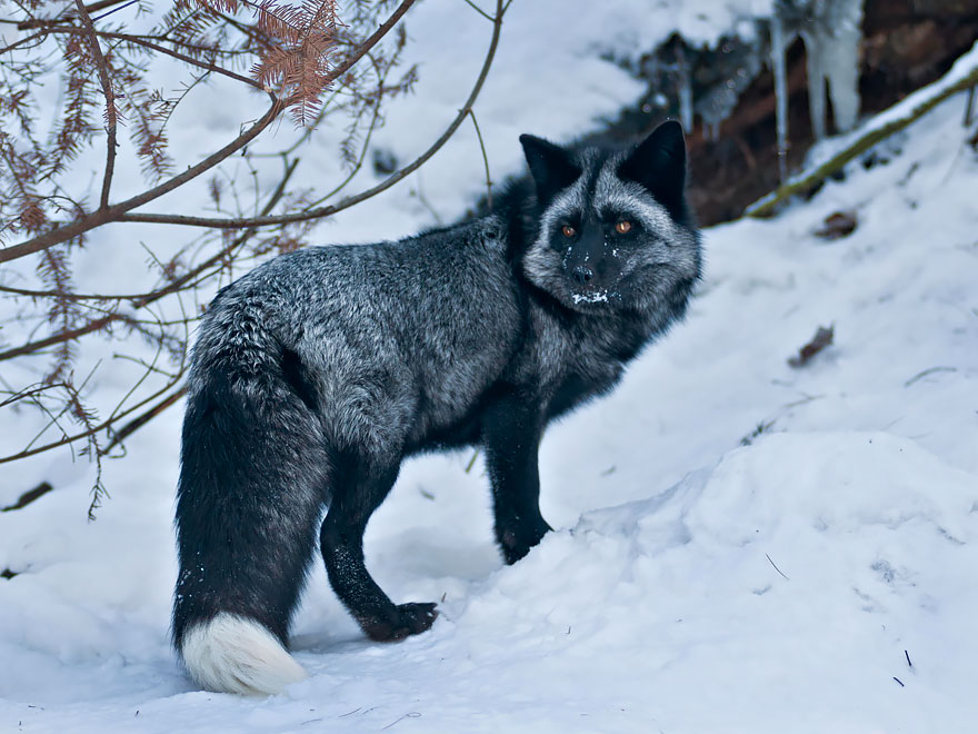 Beauty Photo Of Rare Black Foxes 15 Beauty Photo Of Rare Black Foxes