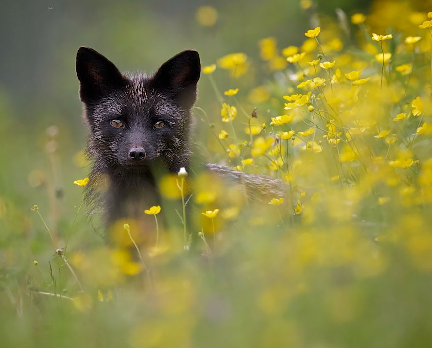 Beauty Portrait of Rare Black Foxes 99 15 Beauty Photo Of Rare Black Foxes