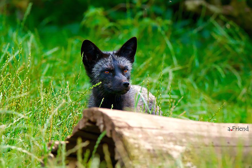 Stunning Photo Of Rare Black Foxes 11 15 Beauty Photo Of Rare Black Foxes