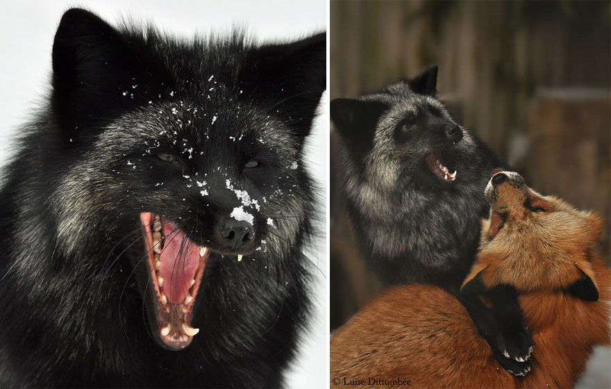 Stunning Photo Of Rare Black Foxes 22 15 Beauty Photo Of Rare Black Foxes