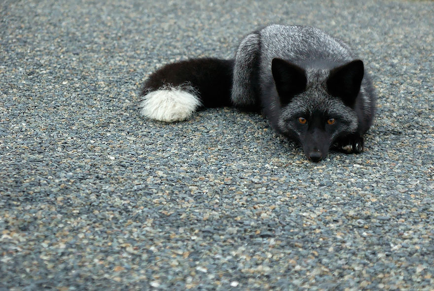 Stunning Photo Of Rare Black Foxes 99 15 Beauty Photo Of Rare Black Foxes