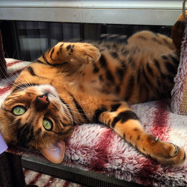 Thor The Beautiful Bengal Cat Meet Thor, The Bengal Cat With Purrfectly Beautiful Fur