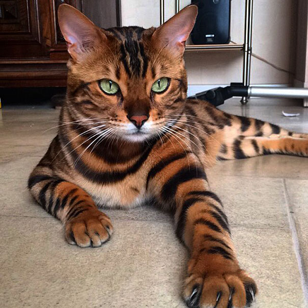 Thor The Bengal Cat With Purrfectly Beautiful Fur 99 Meet Thor, The Bengal Cat With Purrfectly Beautiful Fur