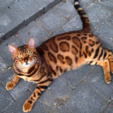 Meet Thor, The Bengal Cat With Purrfectly Beautiful Fur