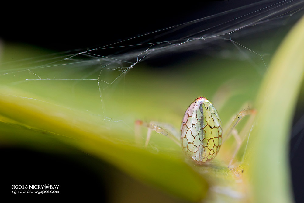 Beautiful Photography of the Mirror Spider Beautiful Transformation of the Mirror Spider