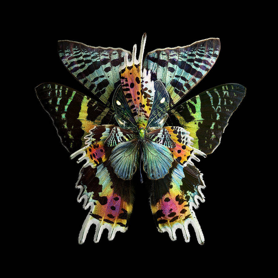Beautiful Rare Butterfly Specimens Documented Stunning Rare Butterfly Specimens Documented