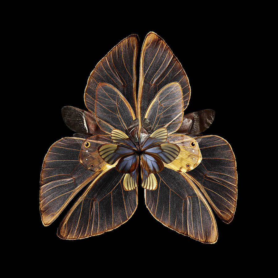 Rare Butterfly Specimens Documented through splendid digital montages Stunning Rare Butterfly Specimens Documented