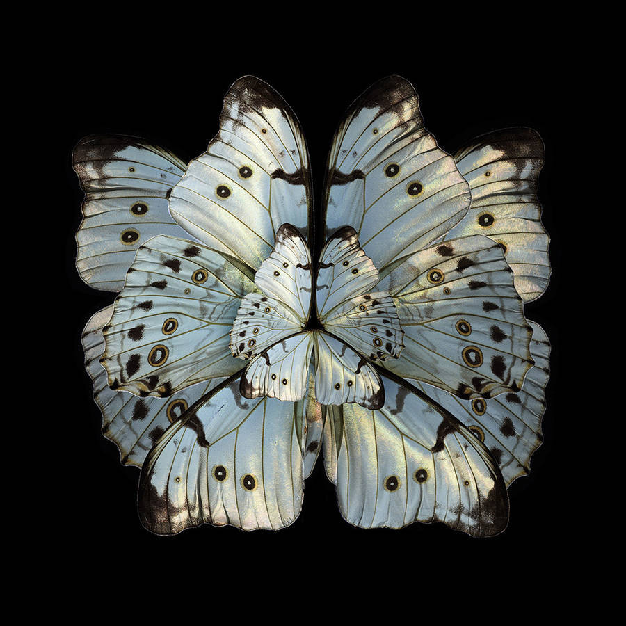 Stunning Rare Butterfly Specimens Documented 9 Stunning Rare Butterfly Specimens Documented