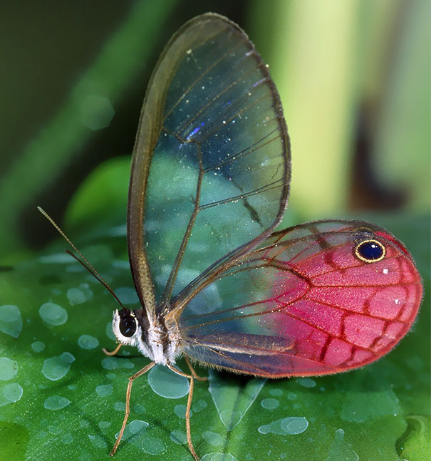 Butterfly Beauty Transparent Animals 10+ Beautiful Transparent Animals That Are Hard To Believe Actually Exist