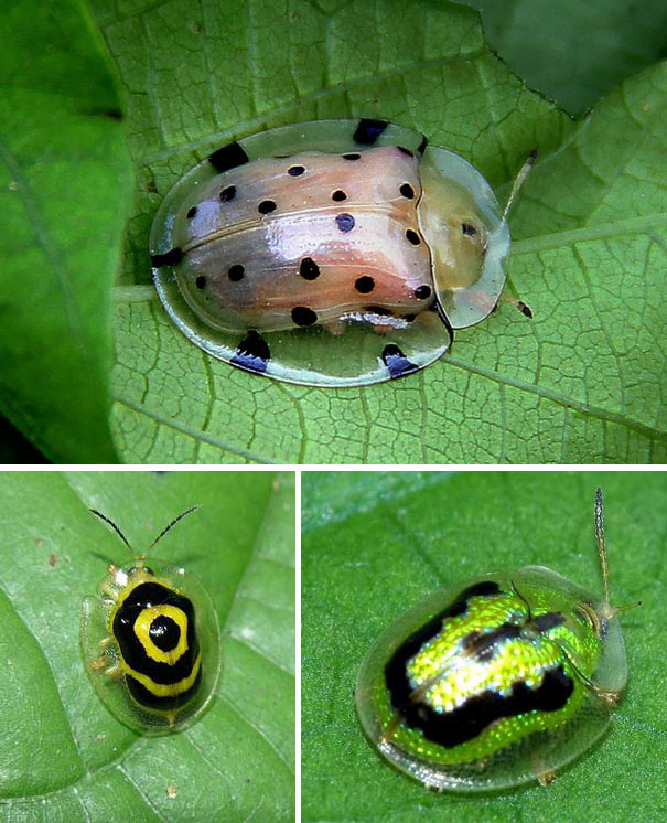 Tortoise Shell Beetle Transparent Animals 10+ Beautiful Transparent Animals That Are Hard To Believe Actually Exist