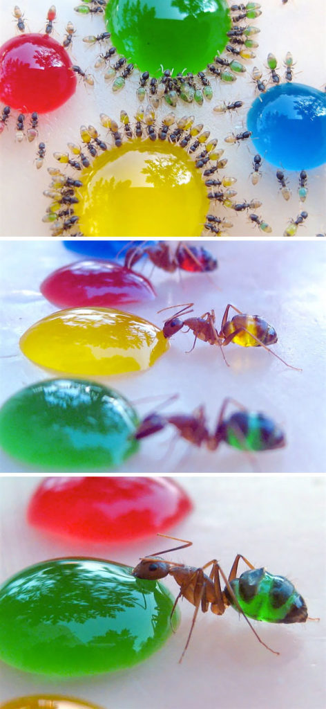 Translucent Pharaoh Ants Beauty Transparent Animals 472x1024 10+ Beautiful Transparent Animals That Are Hard To Believe Actually Exist