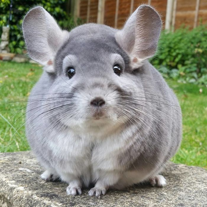 Adorable Chinchillas' Butts Are So Round These Chinchillas' Butts Are So Round, They Look Fake