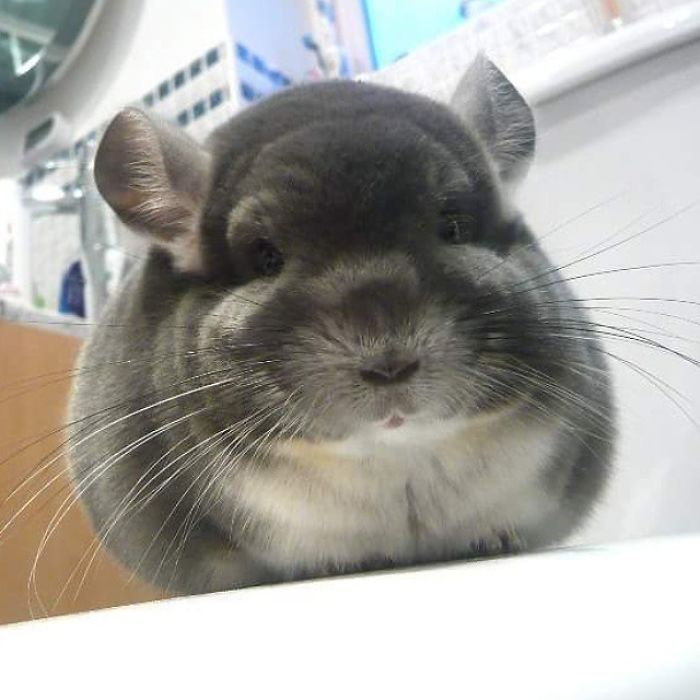 Adorable Chinchillas Butts Are So Round These Chinchillas' Butts Are So Round, They Look Fake