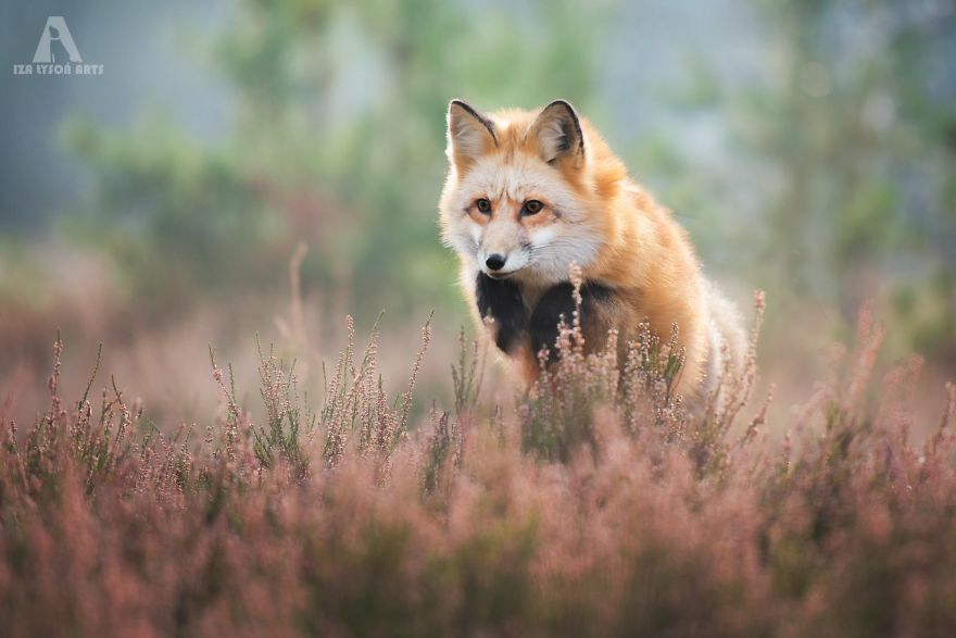 Beautiful Fox Photography Ever 11 [Trending] Meet Freya, The Beautiful Fox I Photographed In Polish Woods