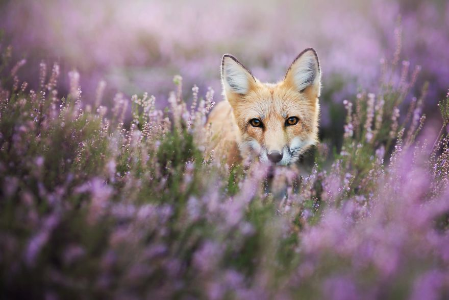 Beautiful Wild Fox Photography [Trending] Meet Freya, The Beautiful Fox I Photographed In Polish Woods
