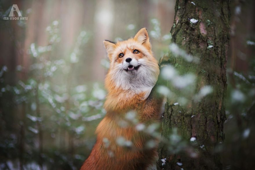 Beauty Fox Photography Ever 11 [Trending] Meet Freya, The Beautiful Fox I Photographed In Polish Woods
