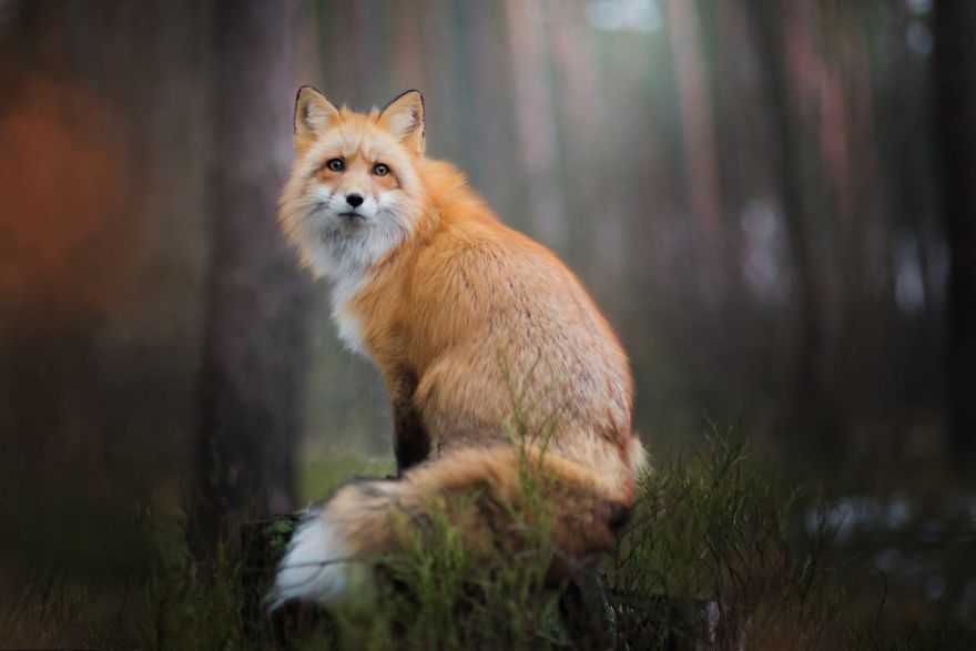 Best Fox Photography Ever 11 [Trending] Meet Freya, The Beautiful Fox I Photographed In Polish Woods
