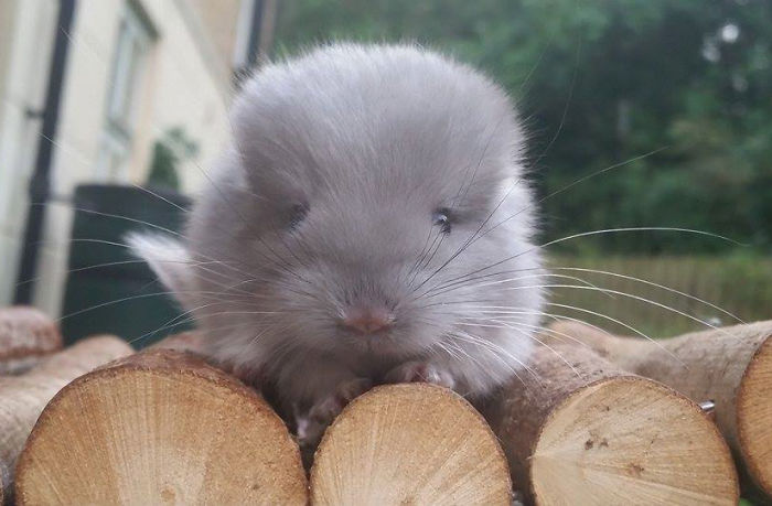 Cute Baby Chinchillas Photos These Chinchillas' Butts Are So Round, They Look Fake