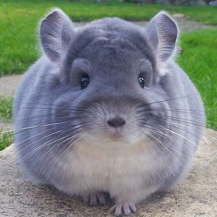 Cute Chinchillas' Butts Are So Round These Chinchillas' Butts Are So Round, They Look Fake