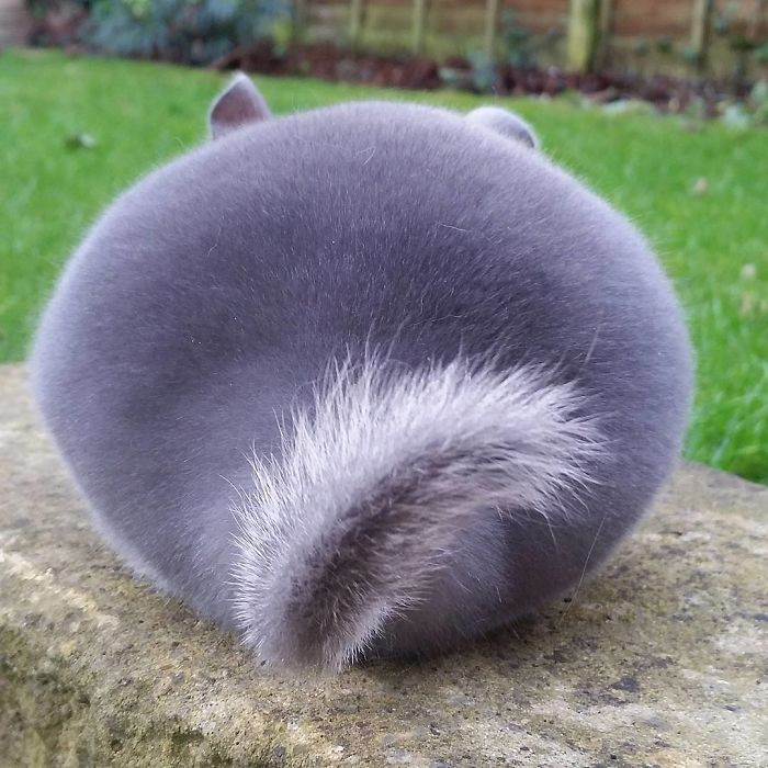 Cute Chinchillas Butts Are So Round 9 These Chinchillas' Butts Are So Round, They Look Fake