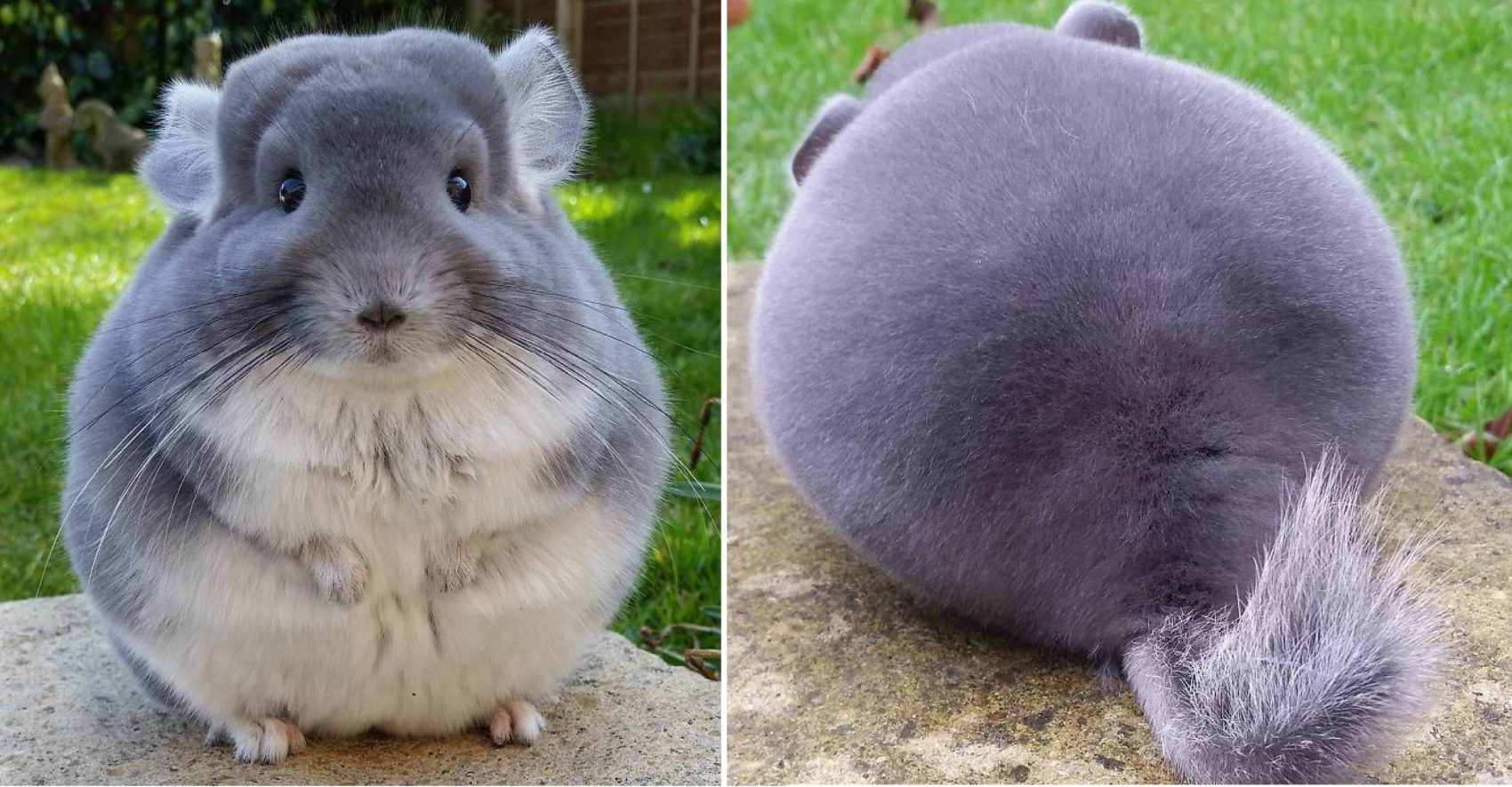 these chinchillas' butts are so round, they look fake | 99inspiration