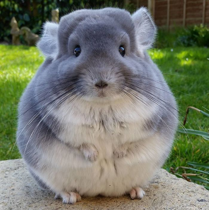 Cute Chinchillas Butts Are So Round They Look Fake These Chinchillas' Butts Are So Round, They Look Fake