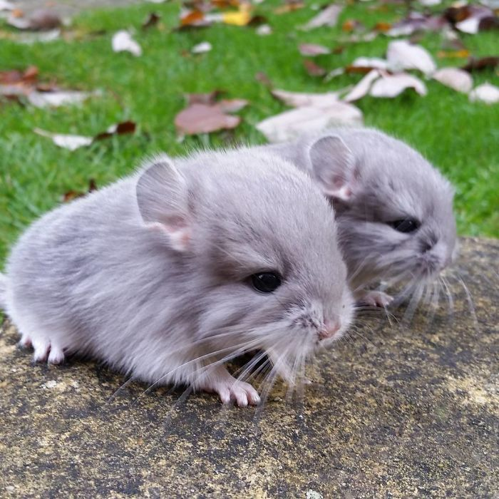 Cute Chinchillas Butts Are So Round These Chinchillas' Butts Are So Round, They Look Fake