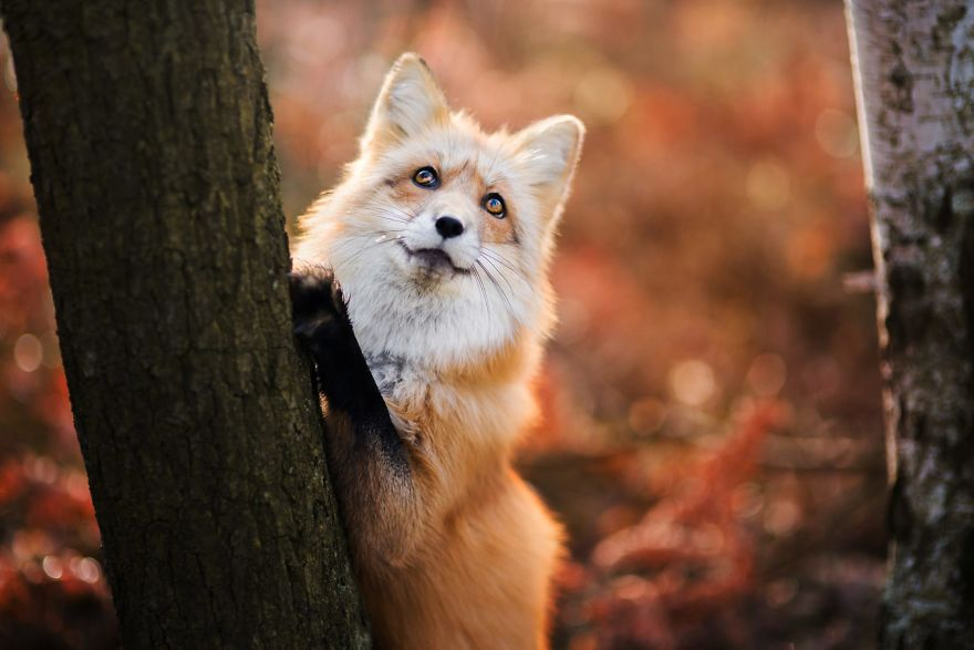Cute Fox Photography Ever 11 [Trending] Meet Freya, The Beautiful Fox I Photographed In Polish Woods
