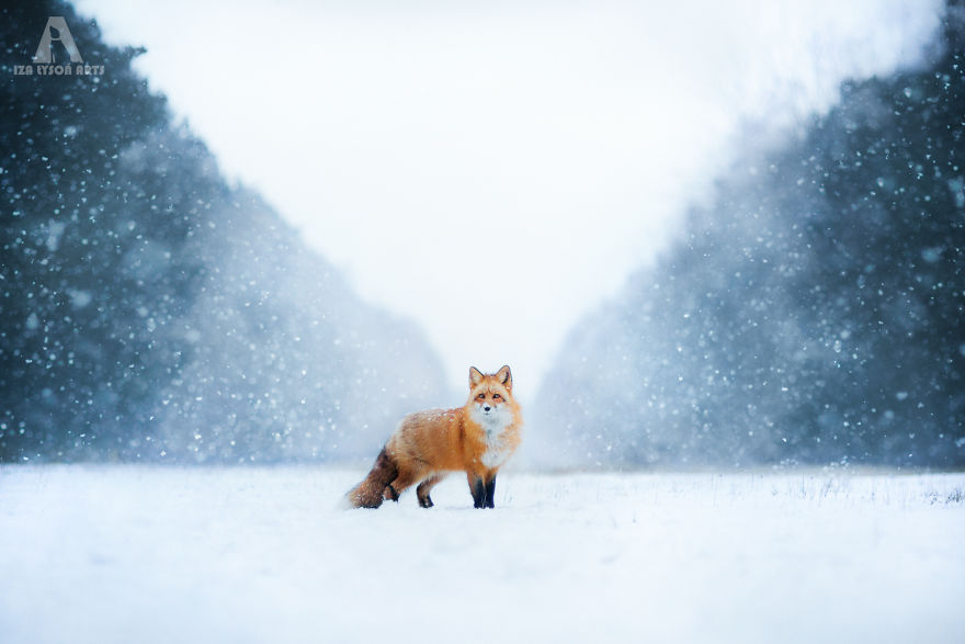 Freya the Beautiful Fox Photograph [Trending] Meet Freya, The Beautiful Fox I Photographed In Polish Woods