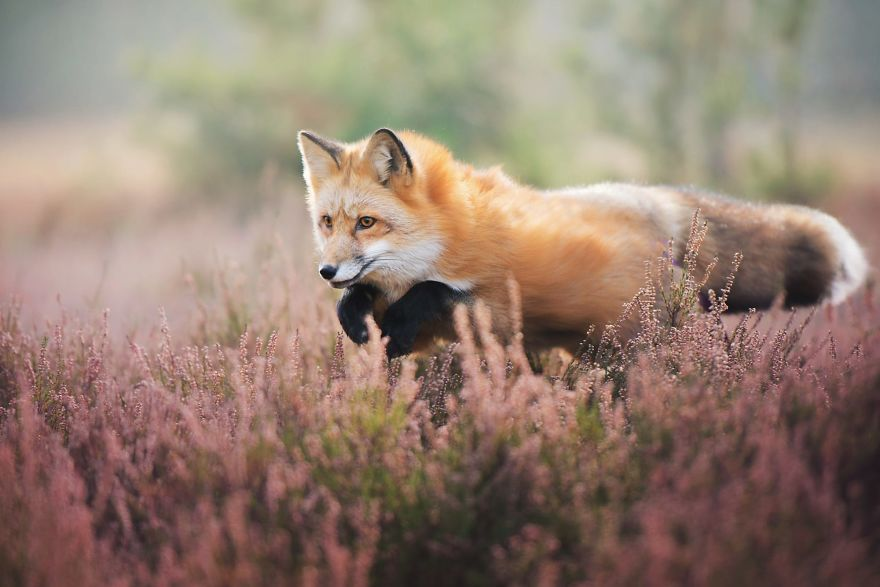 Stunning Fox Photography Ever 11 [Trending] Meet Freya, The Beautiful Fox I Photographed In Polish Woods