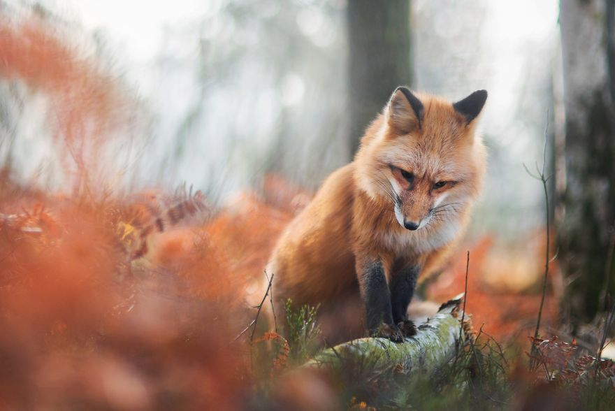 Trending Freya the Beautiful Fox 99 [Trending] Meet Freya, The Beautiful Fox I Photographed In Polish Woods