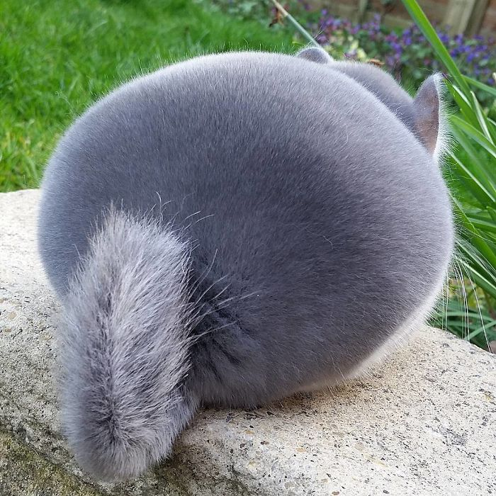 perfectly round chinchilla These Chinchillas' Butts Are So Round, They Look Fake