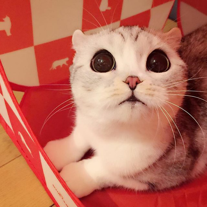 Meet Hana A Japanese Kitty With the Most Beautiful Eyes 3 Meet Hana, A Japanese Kitty With the Most Beautiful Eyes