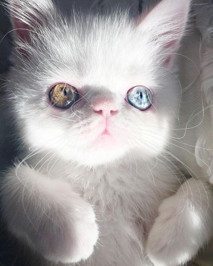 Pam Pam The Kitten With Mesmerizing Eyes 1 Meet Pam Pam, A Tiny Kitty With Heterochromia Whose Eyes Will Hypnotize You