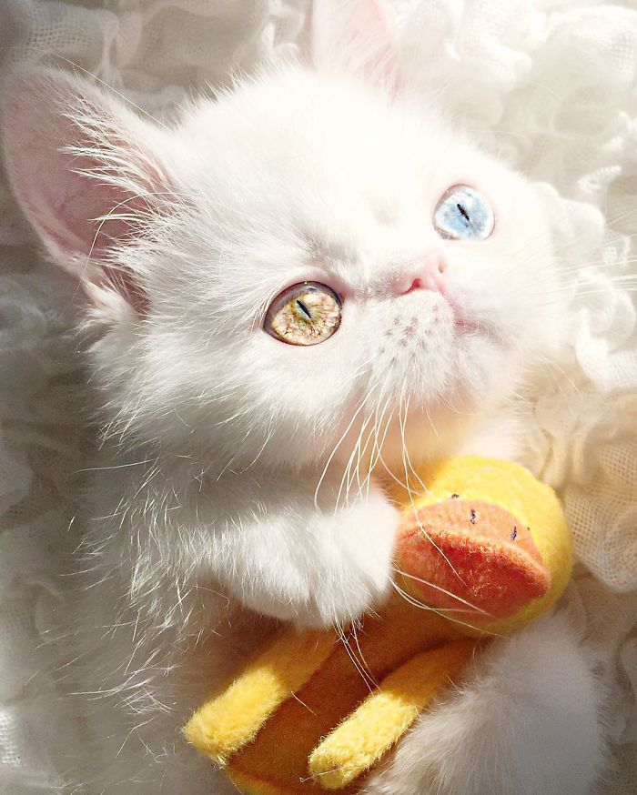 Pam Pam The Kitten With Mesmerizing Eyes 6 Meet Pam Pam, A Tiny Kitty With Heterochromia Whose Eyes Will Hypnotize You