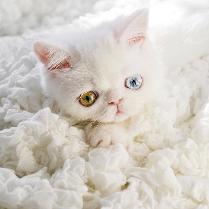 Pam Pam The Kitten With Mesmerizing Eyes 9 Meet Pam Pam, A Tiny Kitty With Heterochromia Whose Eyes Will Hypnotize You